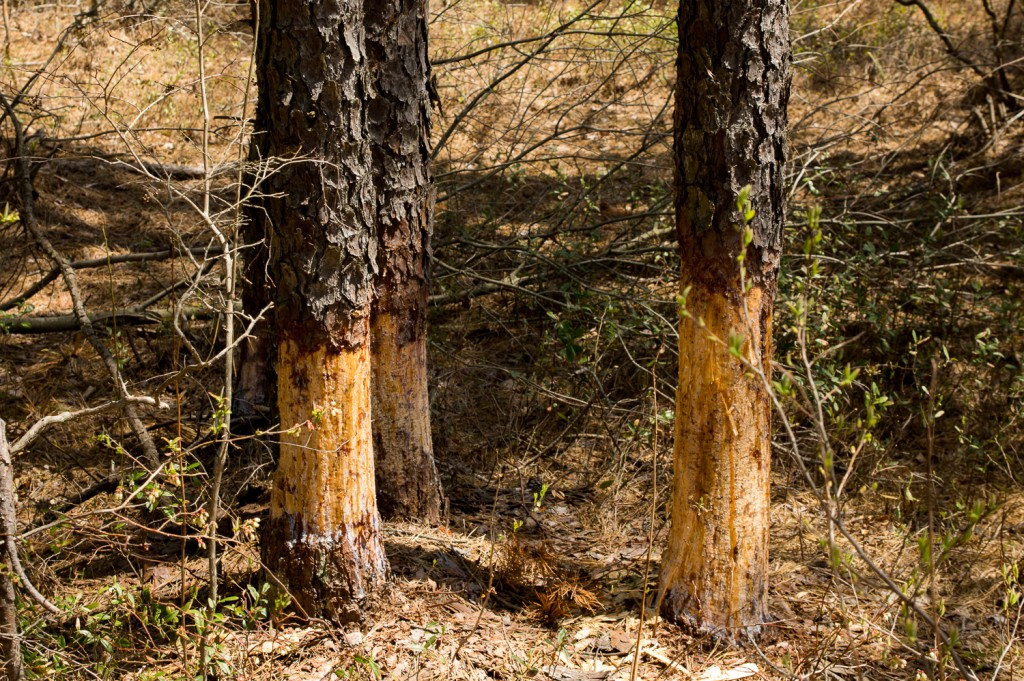 Beavers have been busy working on taking down these three pitch pines.